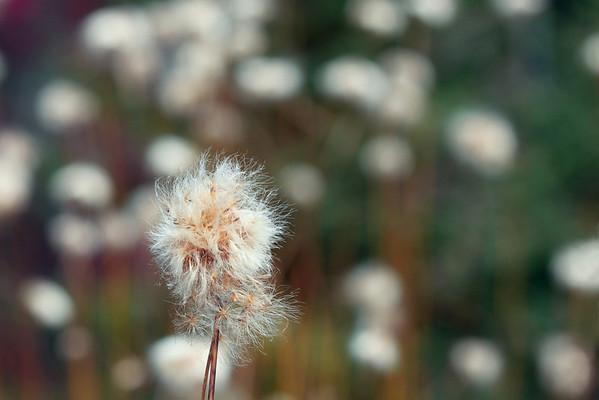 Cottongrass Bokeh