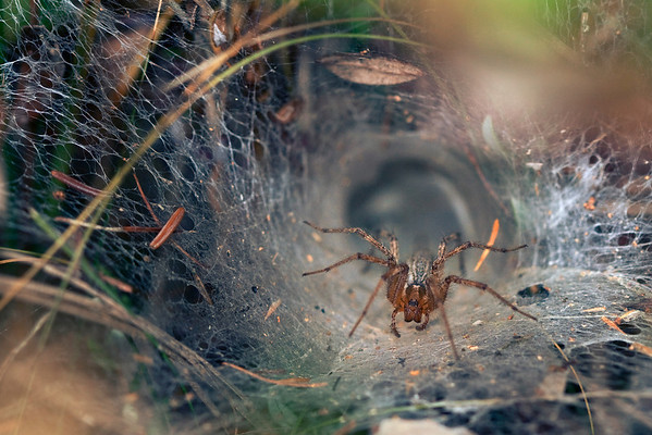 Funnel Web Spider at Home