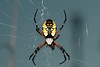 Black & Yellow Garden Spider