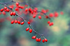 Forest Berries