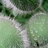 3 poppy buds