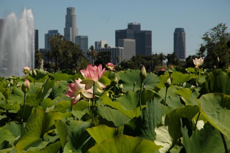 lotus 1