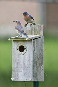 Easten Bluebird (Sialia sialis)