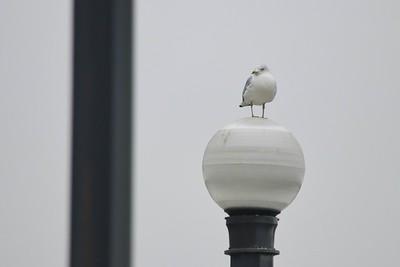 Ring Billed Gull (Larus delawarensis)
