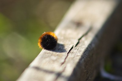Woolly Bear Caterpillar (Pyrrharctia isabella)