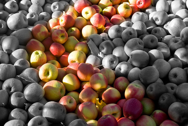 River of Gold - Late harvest apples picked in the Lower Yakima Valley near Zillah