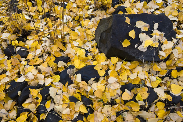 Carpet of Cottonwood Leaves - Manastash Creek