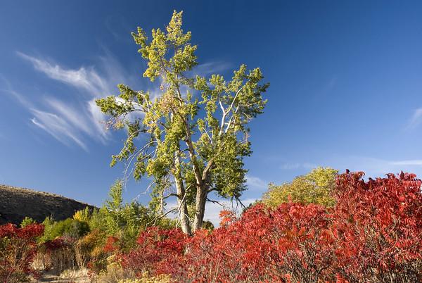 Cottonwood Tree and Sumac near Satus Creek