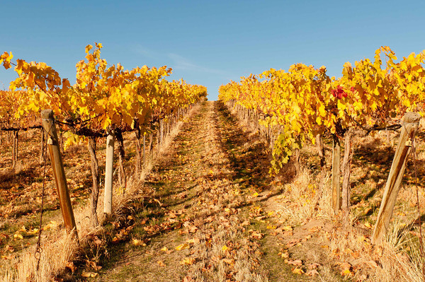 Vineyard Shows its Colors