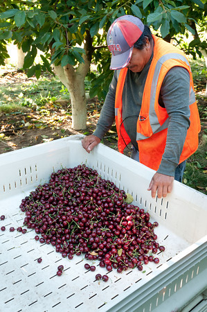 Pablo, Crew Boss - Yakima Valley Cherry Harvest