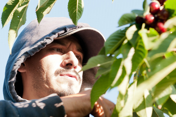Felipe, Cherry Picker - Yakima Valley Cherry Harvest