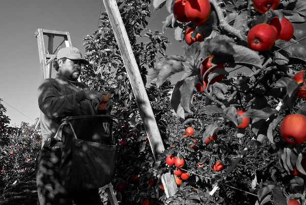 Antonio - Apple picker in the Lower Yakima Valley near Zillah