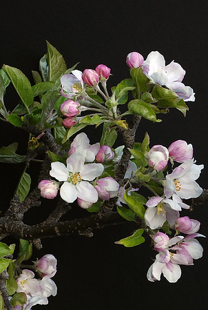 Apple Blossoms in the Upper Yakima Valley