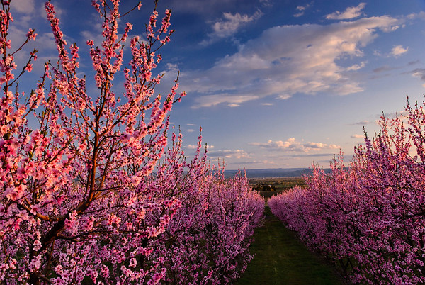 A peach orchard in the Lower Yakima Valley.