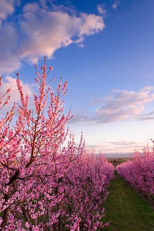 Buena Peach Blossoms (v)
