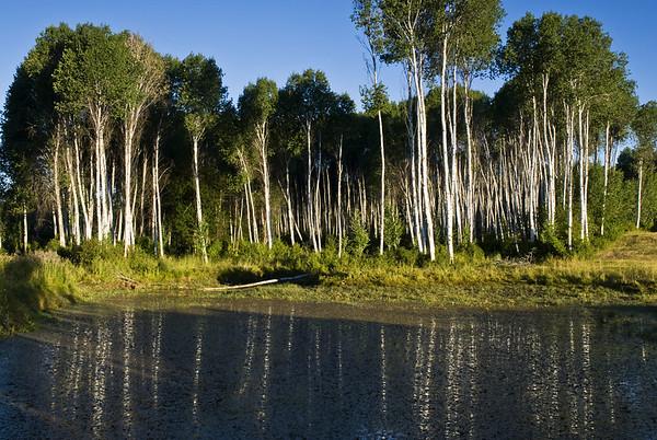 A grove of trees near Wenas Creek.