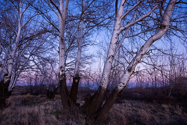 White poplars at Horn Rapids - Yakima River