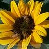 Sunflower Conflict