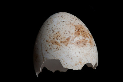 Wild Turkey Egg Shell