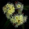 2011-12-W665-Gum_Flowers