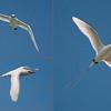2014-12-DW-W665-Red_tailed_Tropicbird_Triptych