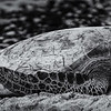 2014-12-PW-W665-Sea_Turtle_at_Waikoloa