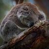 2012-12-C-W665-The_Old_Koala