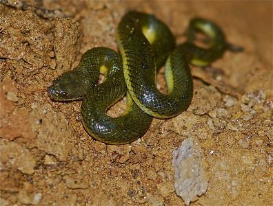 Plumbeous water snake (Enhydris plumbea)