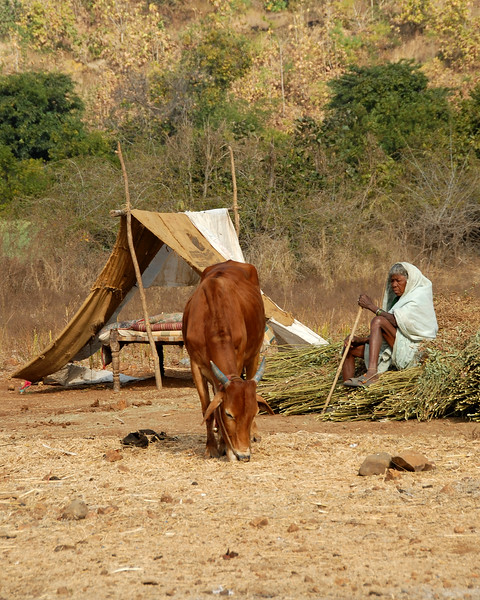 Old lady grazing her cattle in rural India.