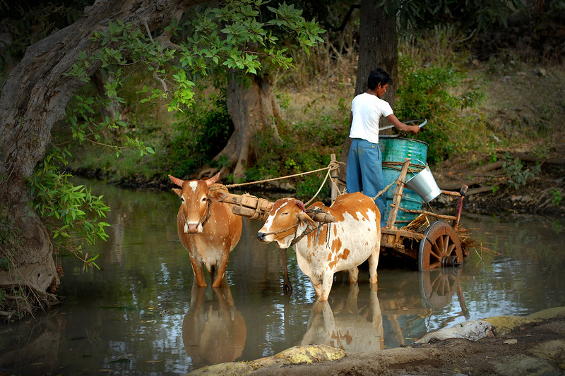 """""""Liquid of life"""": Water is a vital life-line for humans particularly for those living in rural India where getting potable water can be very difficult. The villagers use sand bags to block a stream and fill water in large cans to be taken on bullock carts to the village about 5 Kms away. Jan 2007."""