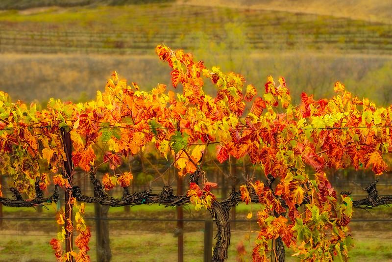 Cienega Region Vineyard-Nov132014_0019