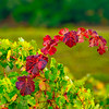 Red Vines Amid The Green-Nov132014_0002