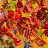 Vineyard-End of Harvest-Nov132014_0041