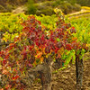 Vineyard_Fall_Color_Bokeh-Nov132014_0046