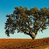 Paso Robles Vineyard Tree CU