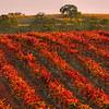 Paso Robles Vineyard at Sunset