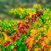 Vineyard Fall Color + Remnant Grapes-Nov132014_0008