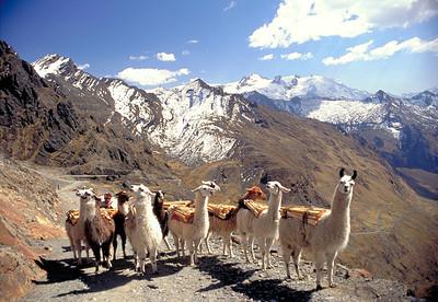 Llamas along the Inca Trail, El Cumbre, 1991.