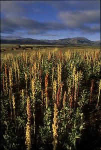 Quinoa in the Tiwanaku Valley, 1996.