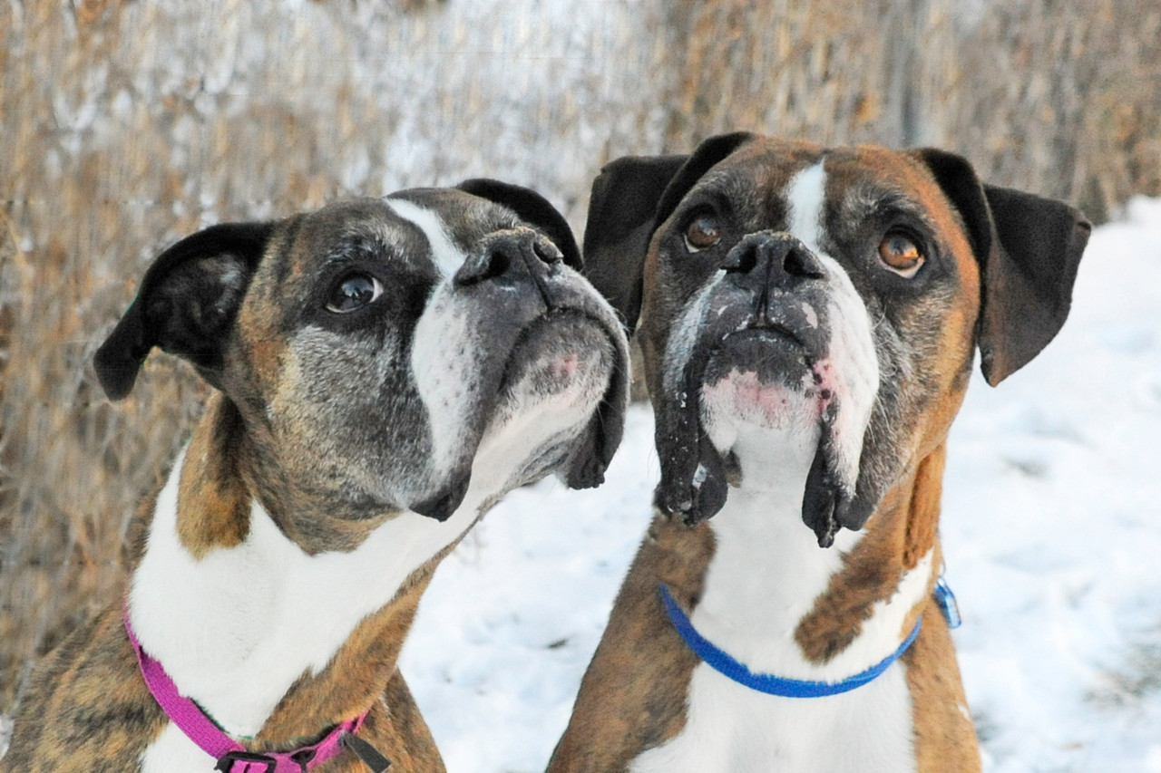 Brandy and Buck are brindle Boxer siblings given up by their owner when 10 years old since they could not care for them anymore.  If you have an energetic and loving home please go visit them at the Dumb Friends League :)  http://www.ddfl.org/adopt/quebec-street-shelter/all-dogs