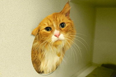 Hi I'm Joey and I love to play.  I would love to be your Valentine and snuggle.  :)  http://www.ddfl.org/adopt/quebec-street-shelter/all-cats