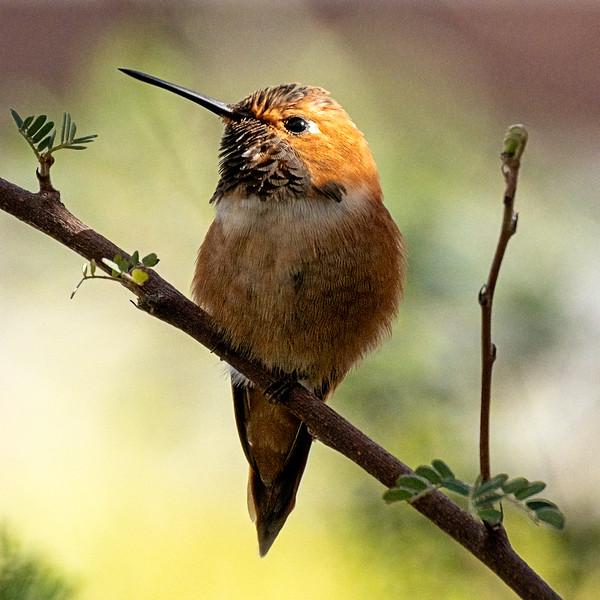 Rufous Hummingbird, alternate processing