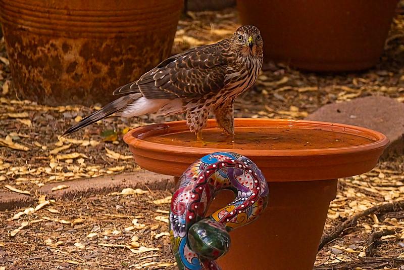 Cooper's hawk juvenile 4