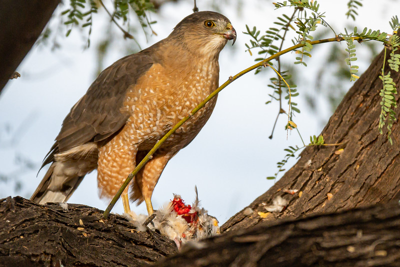 Cooper's Hawk in our backyard with lunch