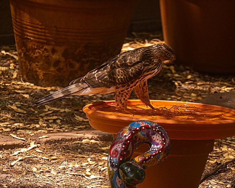 Cooper's hawk juvenile 2