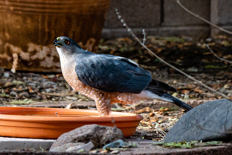 Cooper's Hawk in our water dish 2