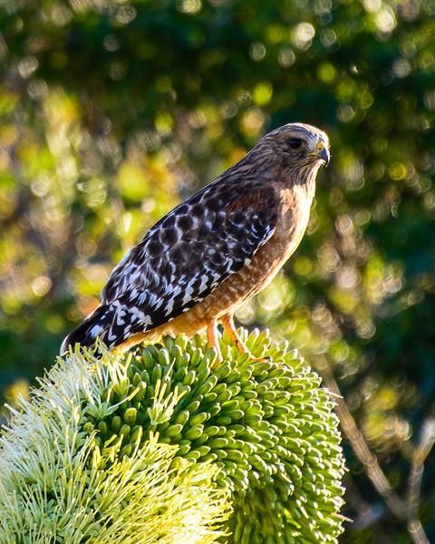 Red-shouldered Hawk, San Simeon, California