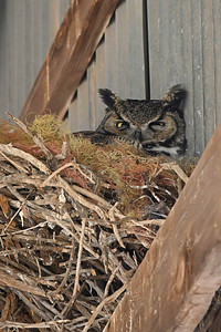 Great Horned Owl (female) in nest with young