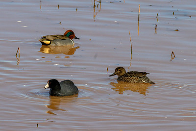 ( F to R) American Coot, Green-winged Teal (female), Green-winged Teal (male)