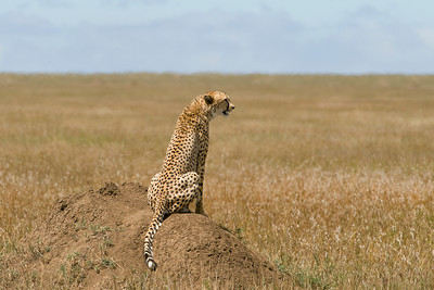 A  female cheetah surveying her domain from the highest point around.